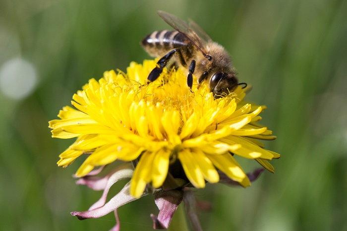 a bee nibbling on a dandelion flower