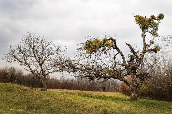 mistletoe growing in trees