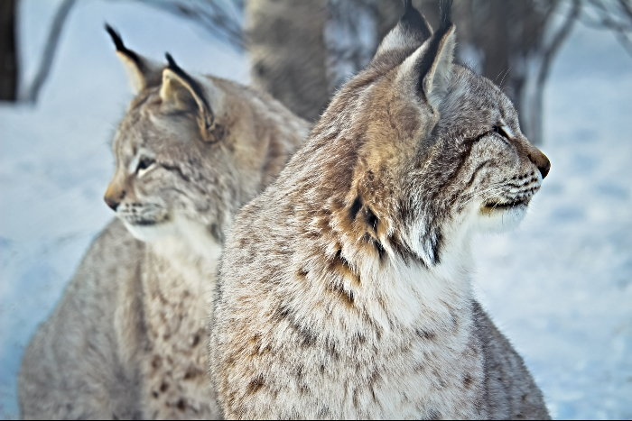 two lynx in the snow