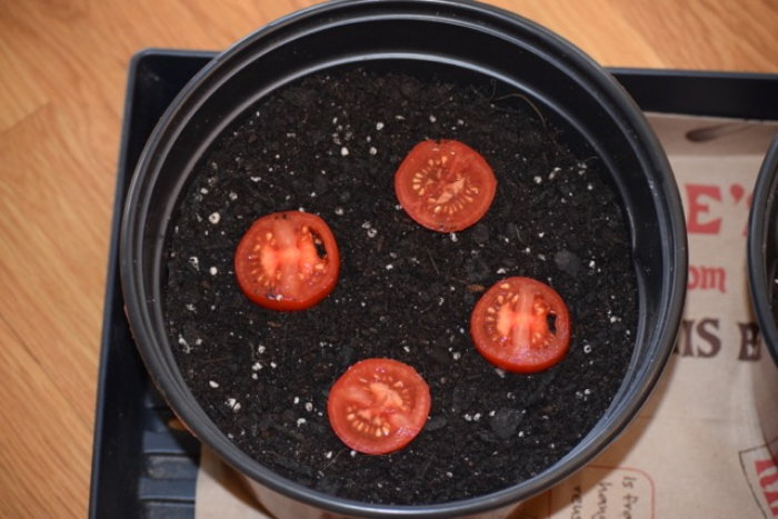 tomato slices planted in a pot