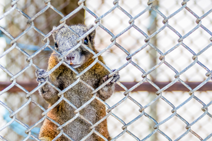 Squirrel on Chain Link Fence