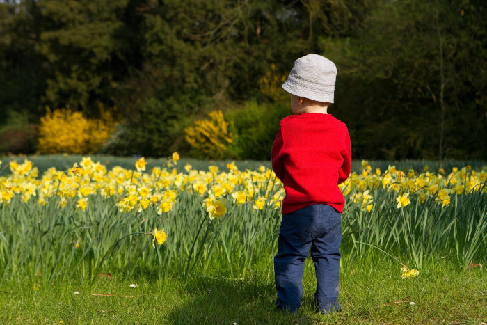child looking at a field of daffodils