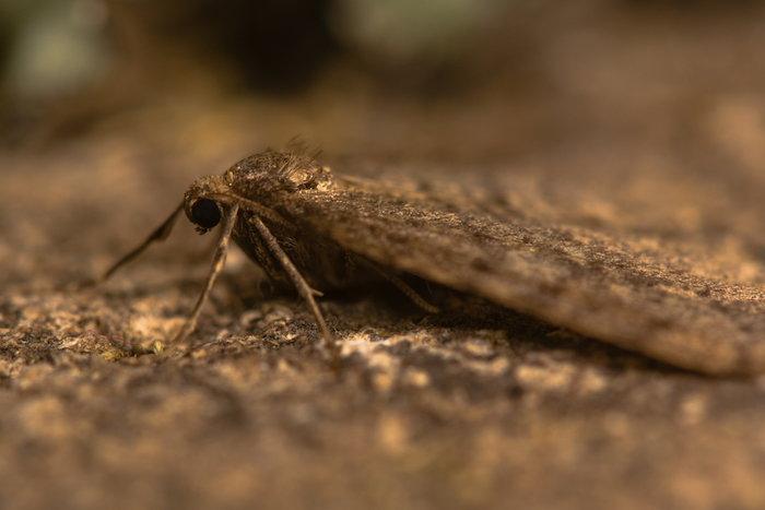 an adult winter moth