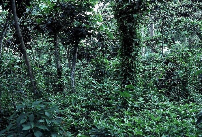 shade grown coffee plants