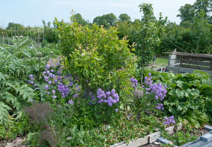 companion planting with lavender