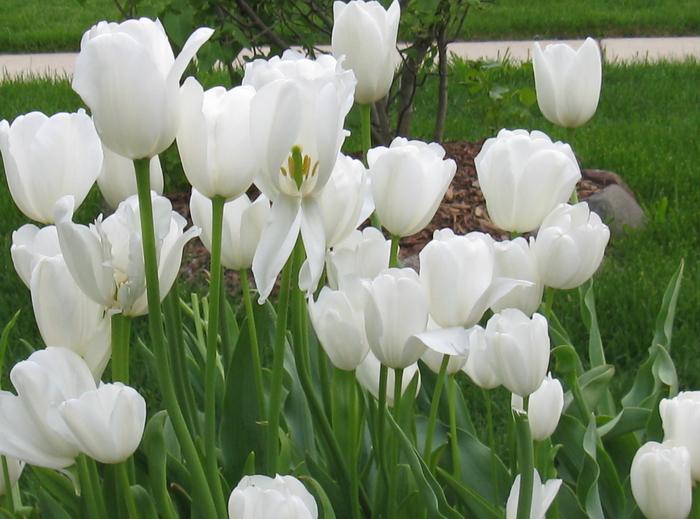 Triumph tulip Weisse Berliner