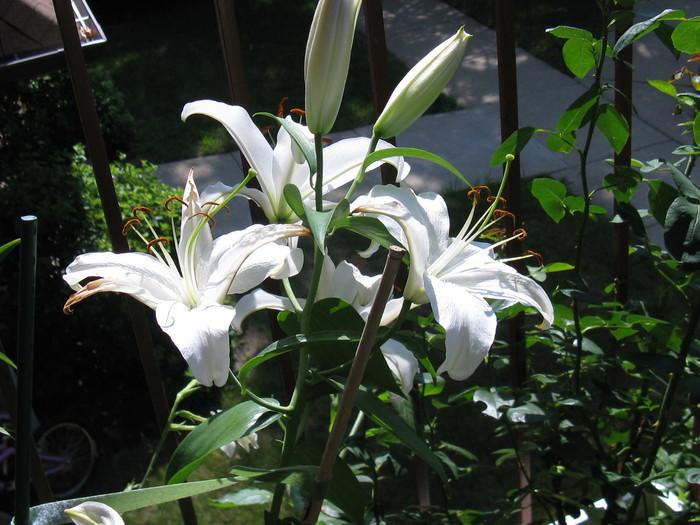 Lilium Crystal Blanca