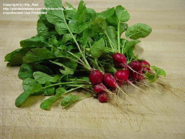 fresh harvested radishes