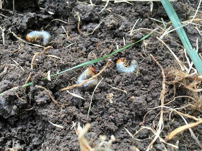 japanese beetle grubs, pests that nematodes eat