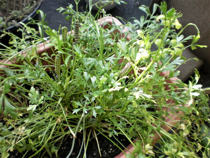 parsley in a container