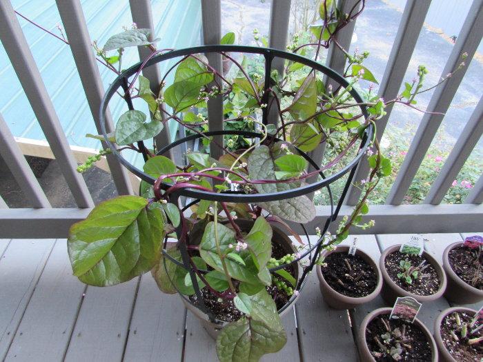 malabar spinach