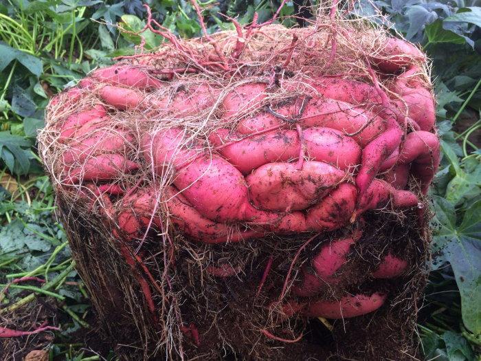 New Ways To Grow Potatoes Dave S Garden