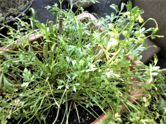 swallowtail caterpillars eating parsley in a container