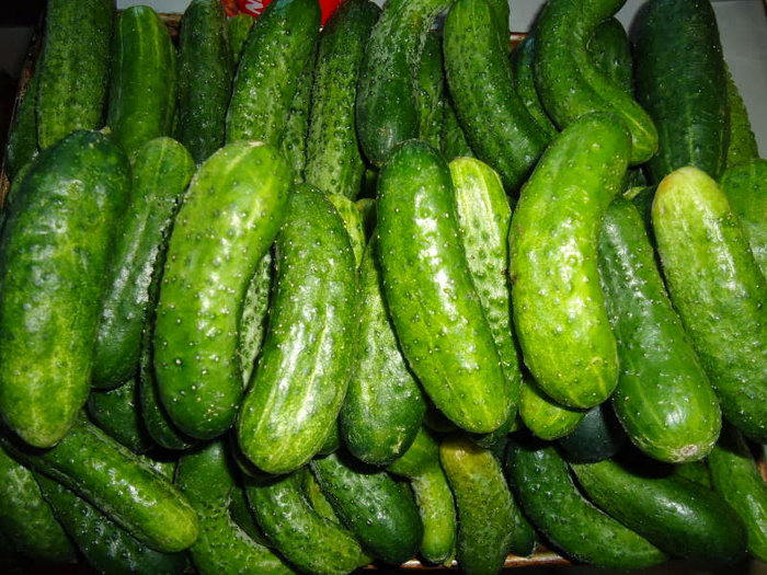 Lots of fresh cucumbers arranged in rows