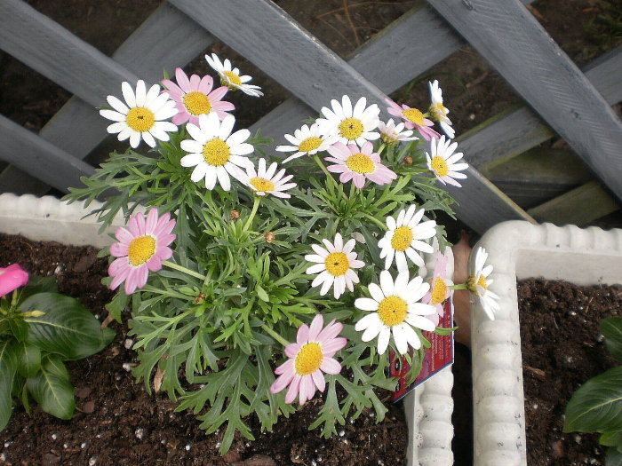 daisies growing in a container