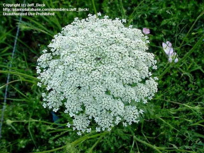 Queen Anne's Lace bloom
