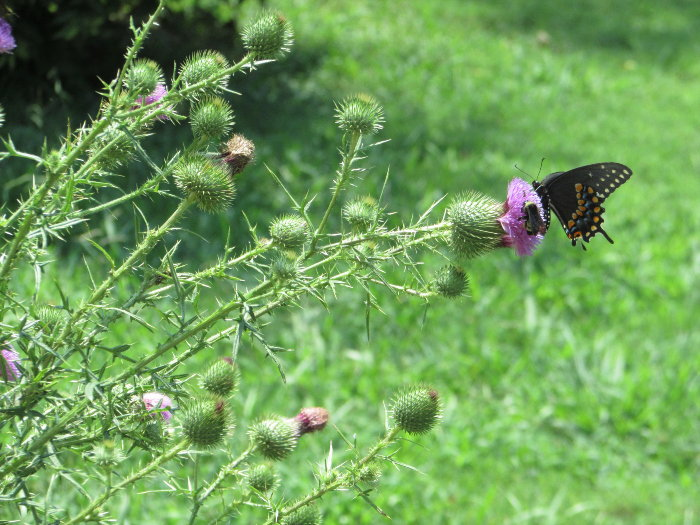 thistle with butterfly on bloom