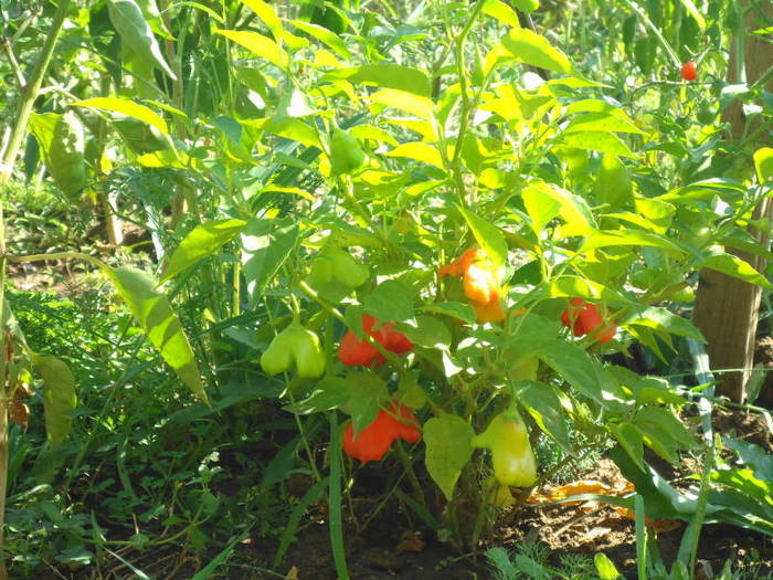 Christmas bell bush with green, yellow and red peppers