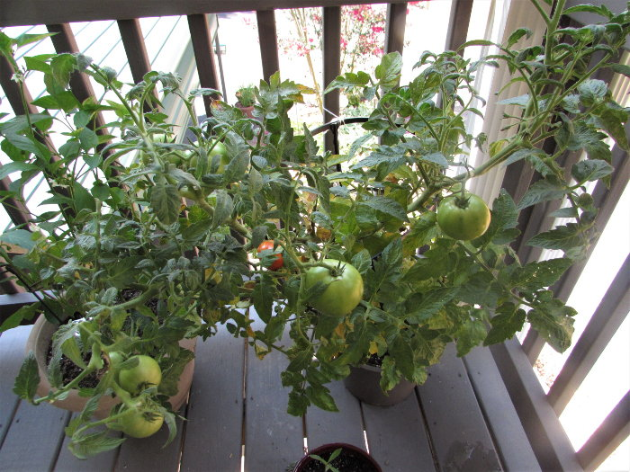 tomatoes growing on a deck