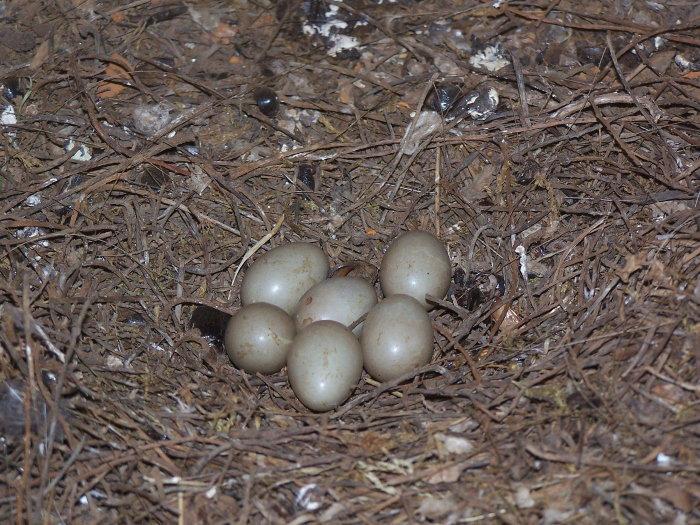 clutch of hoopoe eggs