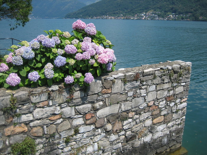 Hydrangea bush with pink and blue flowers near lake Como, in Switzerland