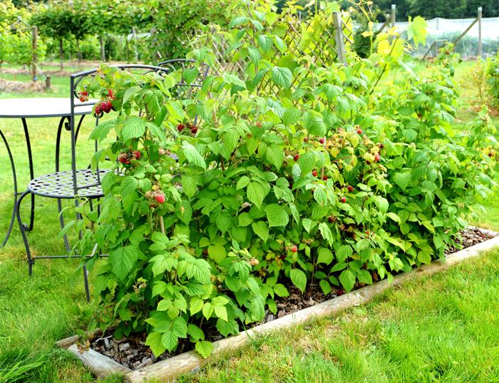 Berry bush growing vertically on a trellis