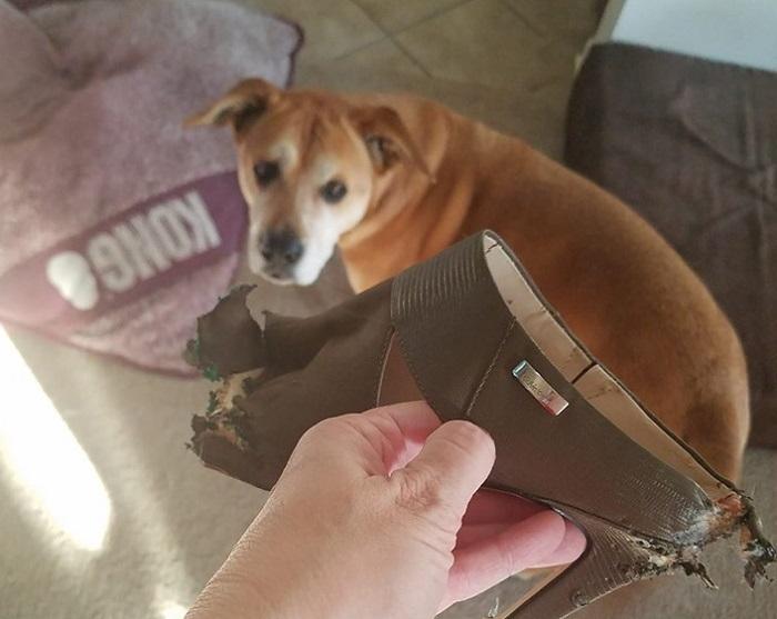 dog with chewed shoe