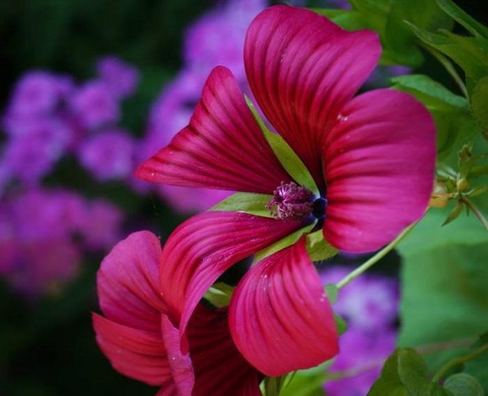 plantfiles for Malope trifida