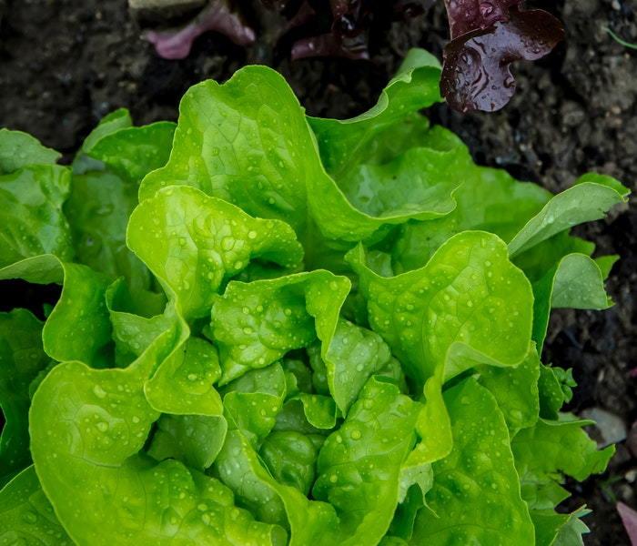 close up of leaf lettuce