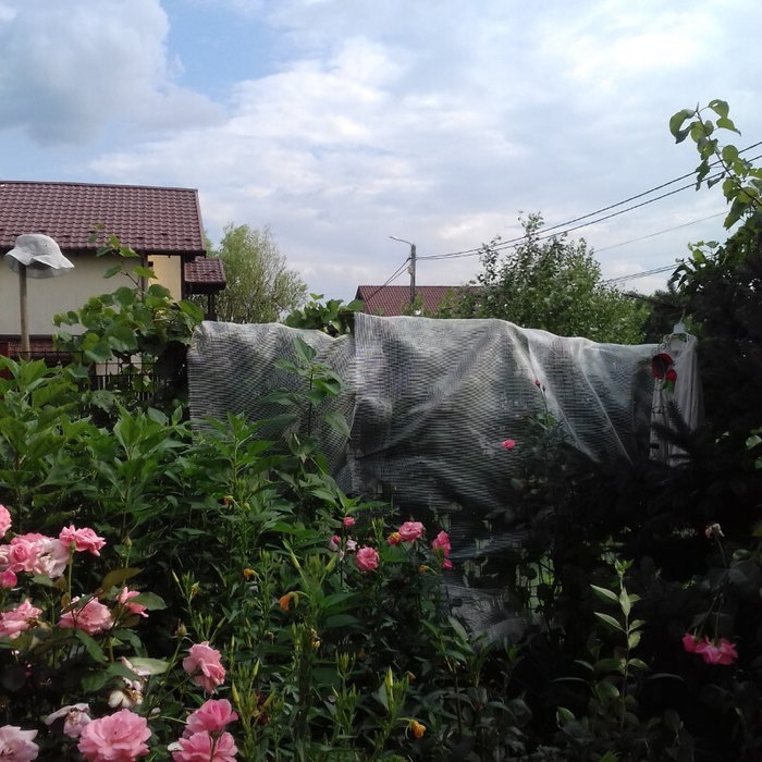 Net on my grapevine and pink roses blooming