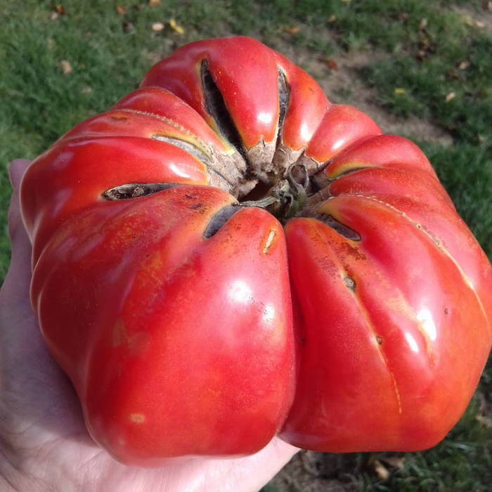 Giant curled red tomato from my garden