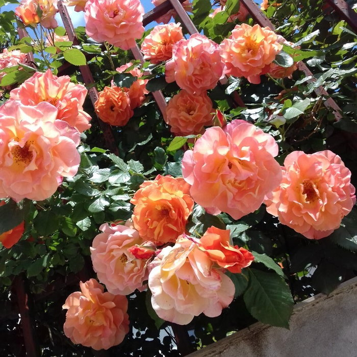 Orange climbing rose flowers on my fence