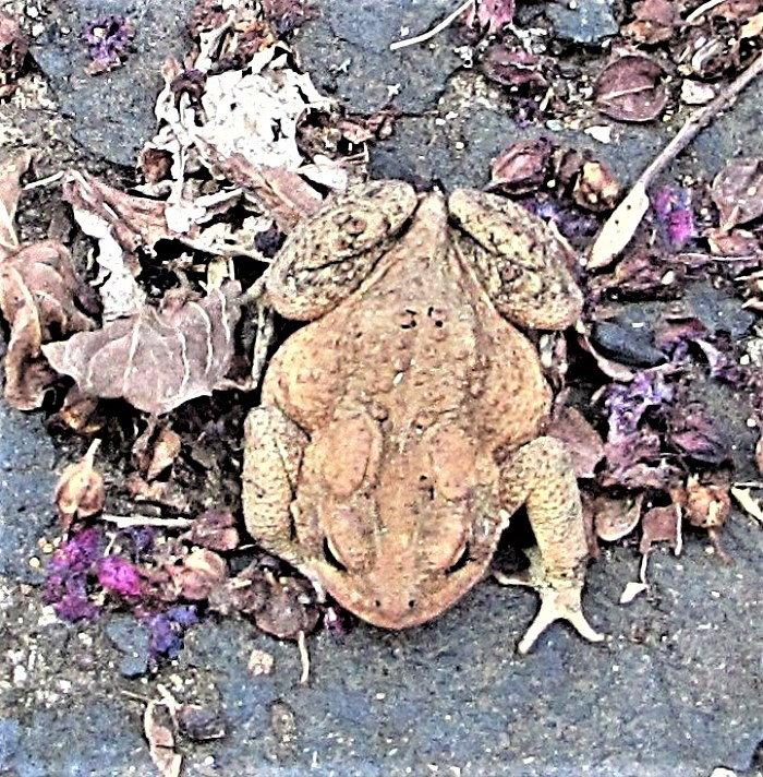 frog hiding in leaf litter