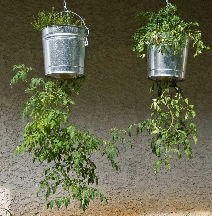 upside down tomato plants