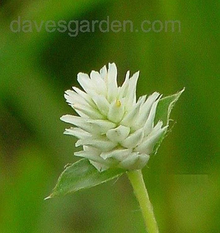 white gomphrena