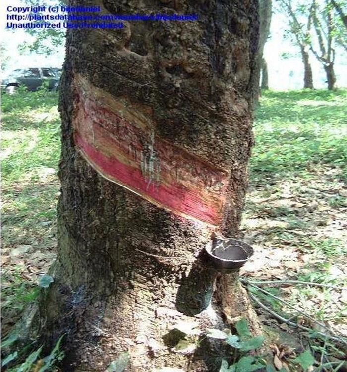 rubber tree harvest