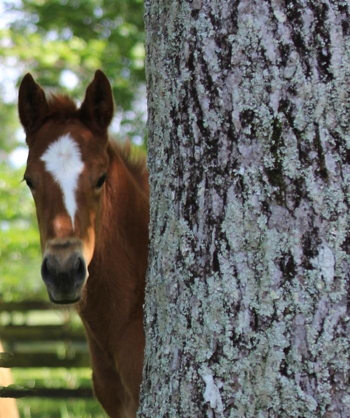 colt peeking from behind tree