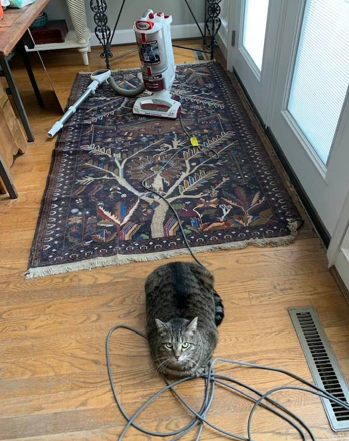 cat with vacuum cleaner