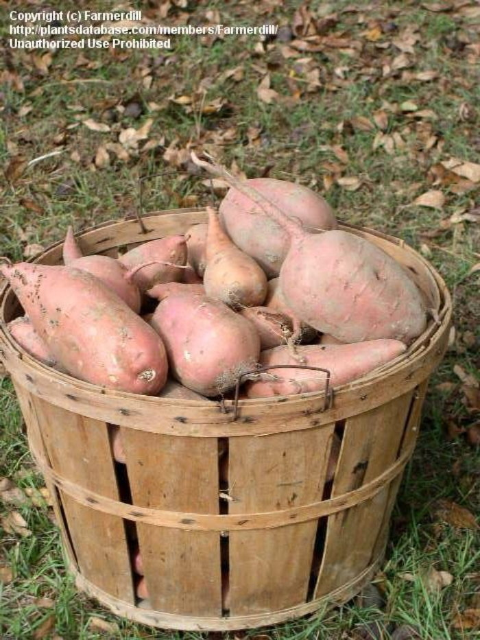 pile of fresh sweet potatoes