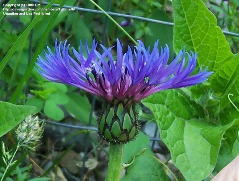 blue centaurea