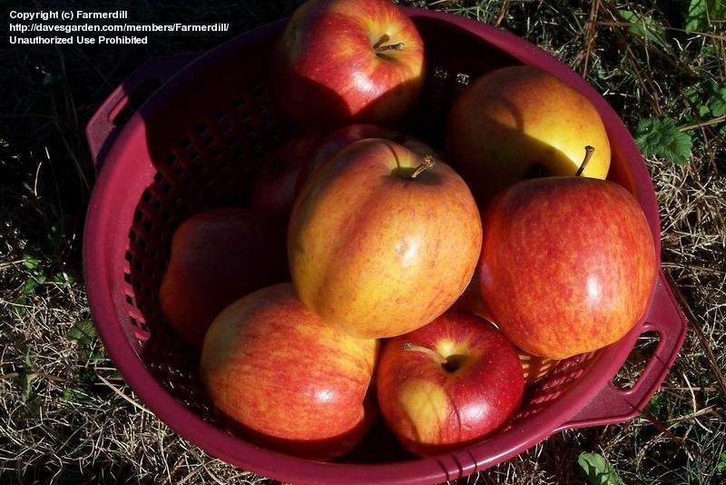 ripe apples in a bowl
