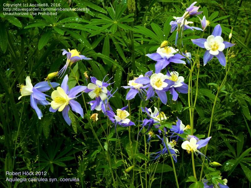 columbine blooms
