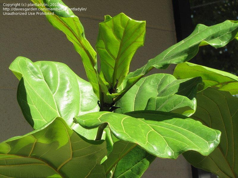 close up of a fiddle leaf fig