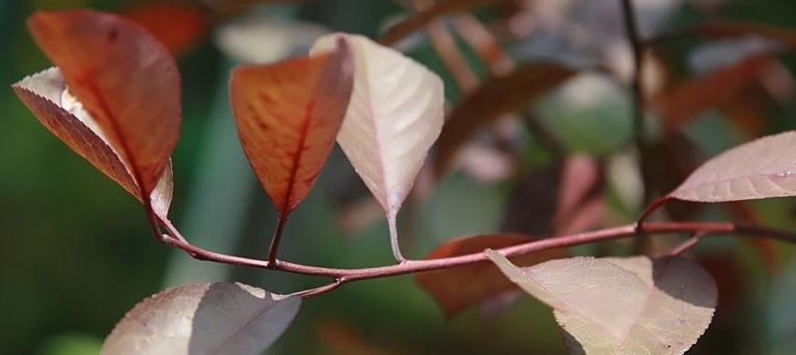Prunus x cistena foliage