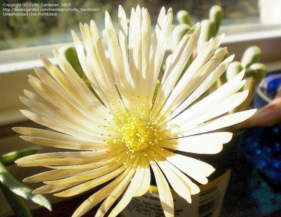 fenestraria bloom