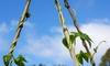 Build a Garden Trellis for Vegetables, Vines and Flowers