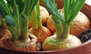 onions growing indoors in a pot