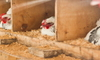 Chickens roosting in a chicken coop