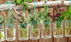 herbs hanging in water jars off a long piece of wood