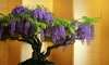 wisteria plant in an indoor planter